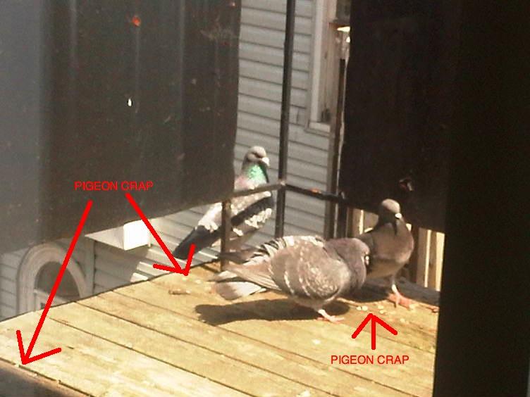 Pigeon Woes